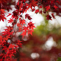 Photos: 神代植物公園【かえで園の紅葉】2-5