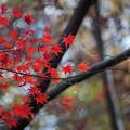 神代植物公園【かえで園の紅葉】2-6