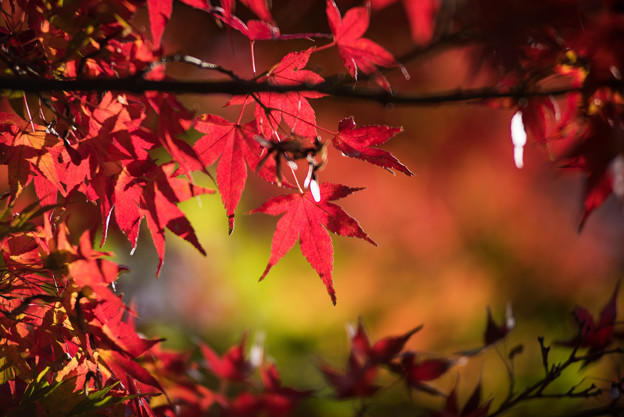 Photos: 神代植物公園【かえで園の紅葉】2-7