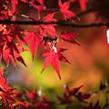 神代植物公園【かえで園の紅葉】2-7