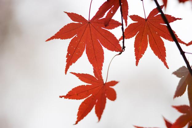 Photos: 神代植物公園【かえで園の紅葉】2-8