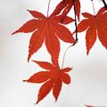 神代植物公園【かえで園の紅葉】2-8