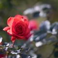 神代植物公園【冬バラ:フィデリオ】1