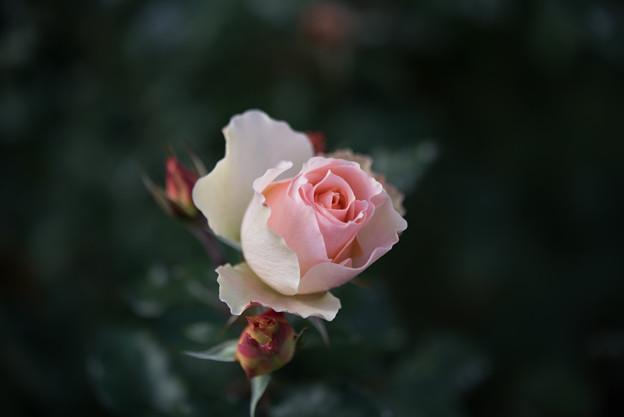 神代植物公園【冬バラ:麗らかなメロディー】1
