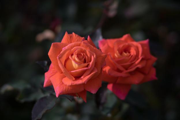 神代植物公園【冬バラ:ジャニナ】