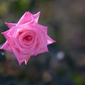 Photos: 神代植物公園【冬バラ:アメリカンズ・ジュニア・ミス】