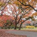 小石川植物園【カエデ並木の紅葉】1