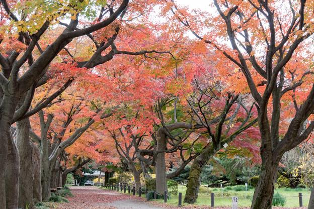 小石川植物園【カエデ並木の紅葉】2
