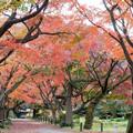 Photos: 小石川植物園【カエデ並木の紅葉】2