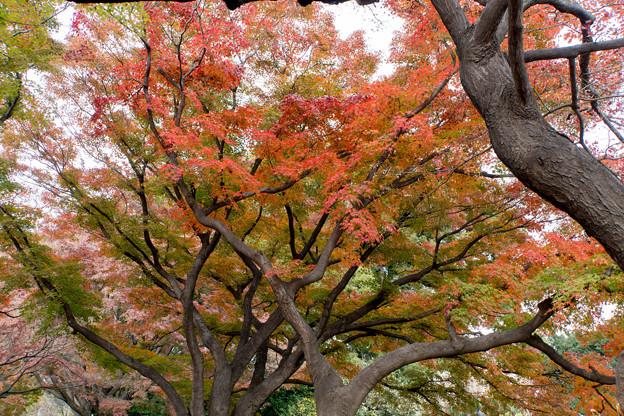 小石川植物園【カエデ並木の紅葉】3
