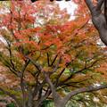 Photos: 小石川植物園【カエデ並木の紅葉】3