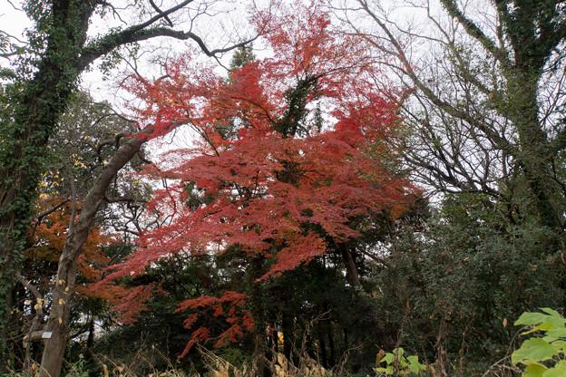 小石川植物園【小道沿いの紅葉】2