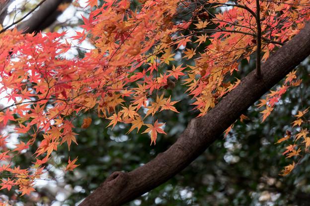 小石川植物園【小道沿いの紅葉】4