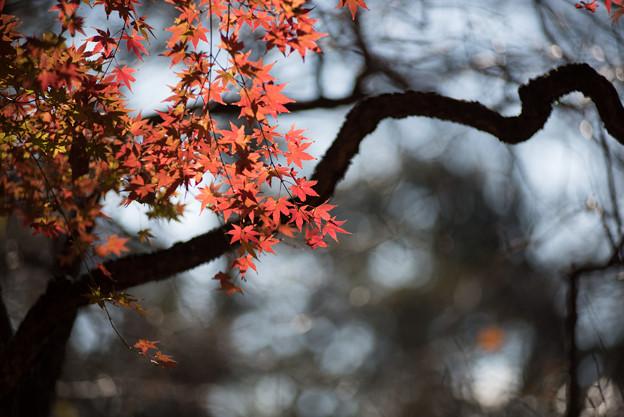 新宿御苑【芝生広場あたりの紅葉】4