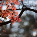 Photos: 新宿御苑【芝生広場あたりの紅葉】4