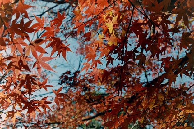 新宿御苑【上の池あたりの紅葉】5