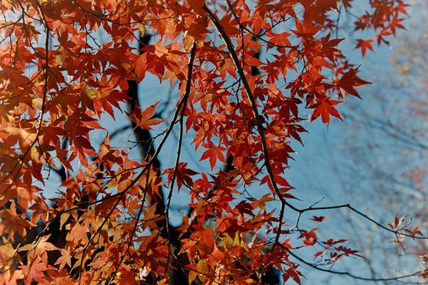 新宿御苑【上の池あたりの紅葉】6