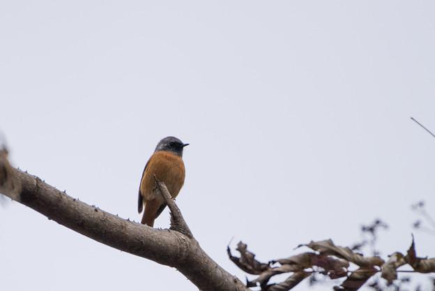 早戸川林道【野鳥:ジョウビタキ】1