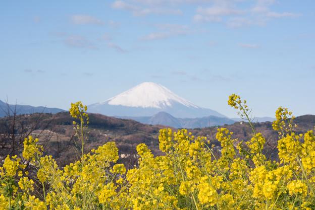 吾妻山公園【菜の花畑と富士山:Nikkor 85mm f1.4】4