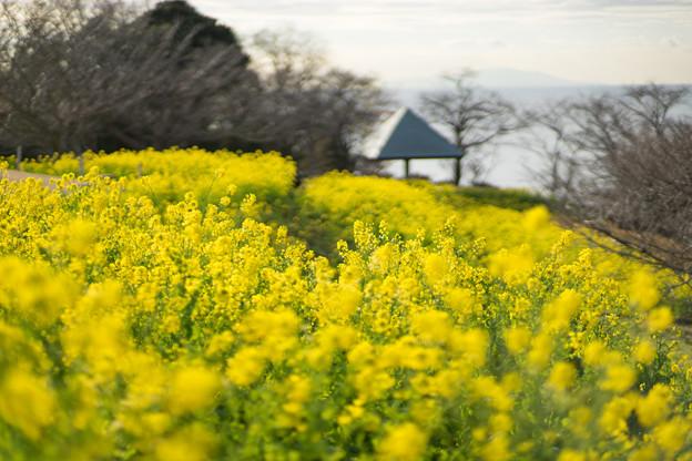 吾妻山公園【菜の花畑:Planar 85mm f1.4】2