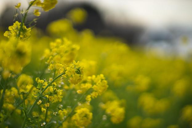 吾妻山公園【菜の花畑:Planar 85mm f1.4】4