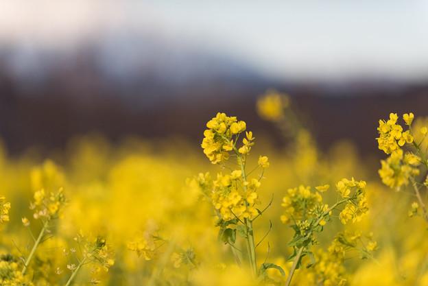 20吾妻山公園【菜の花畑:Nikkor 70-200mm f2.8】2