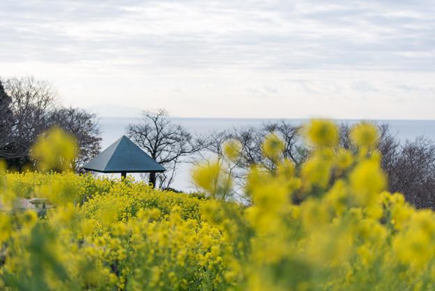 吾妻山公園【菜の花畑:Tamron 90mm f2.8】4