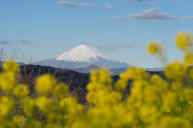 吾妻山公園【菜の花畑と富士山:FE 100mm f2.8 STF】5