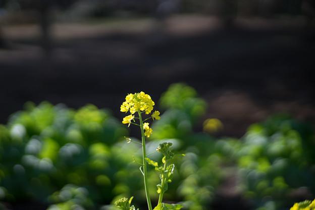 大船フラワーセンター【菜の花】