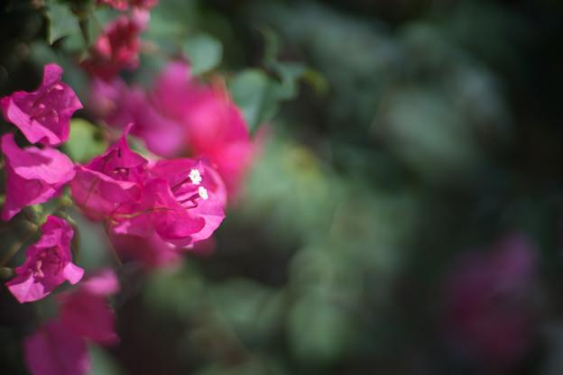 大船フラワーセンター【温室の花:ブーゲンビリア】