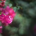 Photos: 大船フラワーセンター【温室の花:ブーゲンビリア】