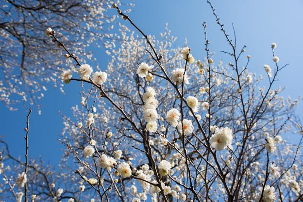 熱海梅園【八重野梅】4