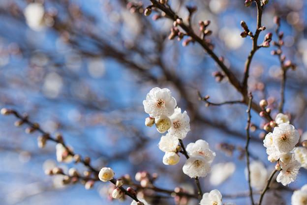 熱海梅園【八重野梅】5