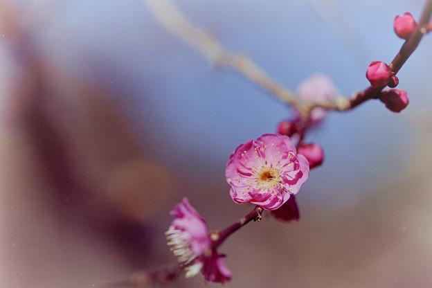 熱海梅園【八重寒紅】4