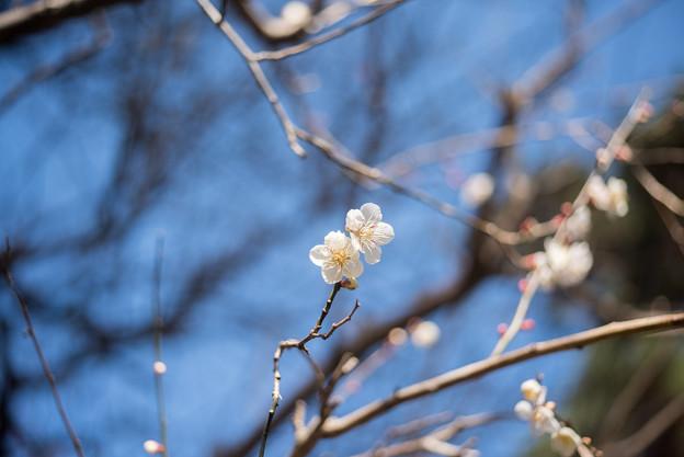熱海梅園【冬至梅】3