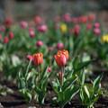 花菜ガーデン【チャペックの家と庭に咲くチューリップ】2