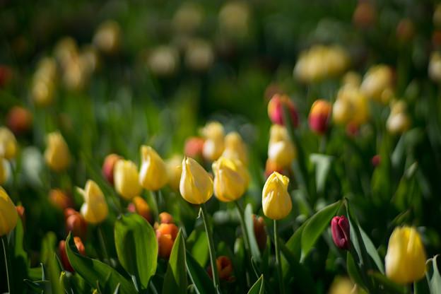 花菜ガーデン【チャペックの家と庭に咲くチューリップ】4