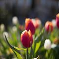 花菜ガーデン【チャペックの家と庭に咲くチューリップ】5