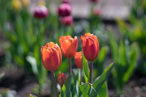 花菜ガーデン【チャペックの家と庭に咲くチューリップ】6