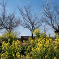花菜ガーデン【チャペックの家の裏側に咲く菜の花】2