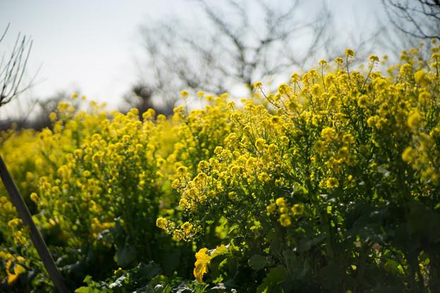 花菜ガーデン【チャペックの家の裏側に咲く菜の花】4