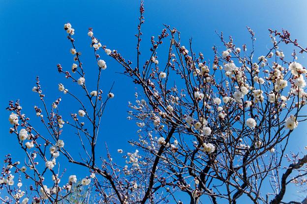 神代植物公園【梅:白難波】1銀塩