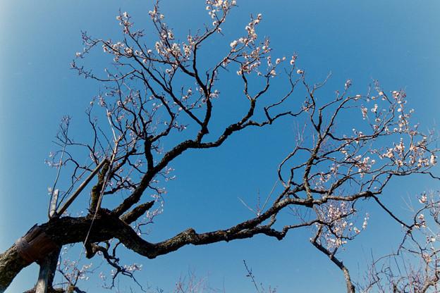 神代植物公園【梅:雲の曙】2銀塩