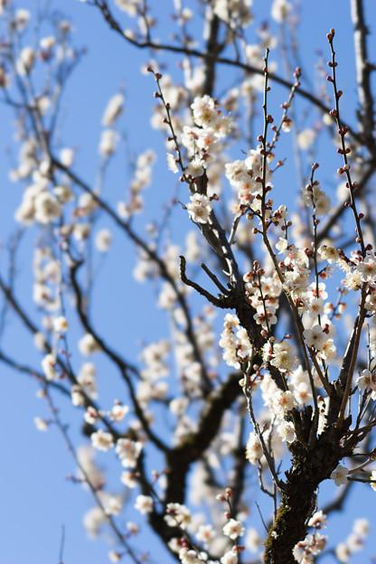 神代植物公園【梅:冬至】1