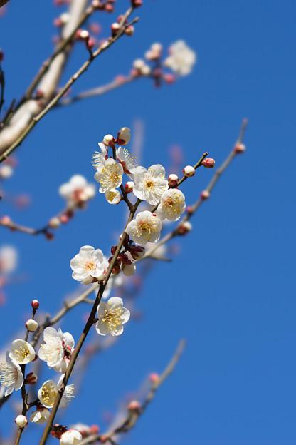 神代植物公園【梅:冬至】3