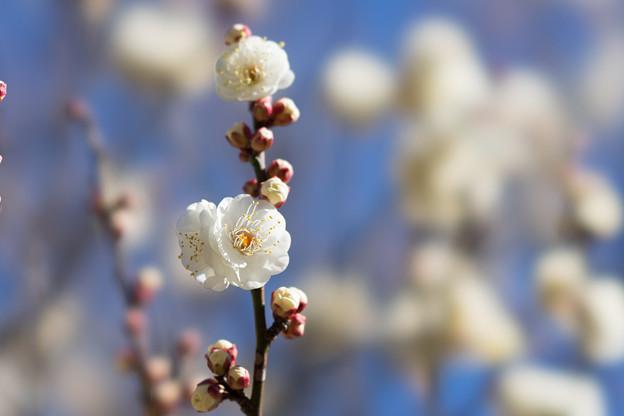 神代植物公園【梅:冬至】5