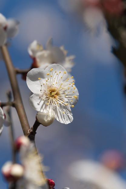 神代植物公園【梅:冬至】10