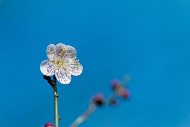 神代植物公園【梅:森の関】3銀塩