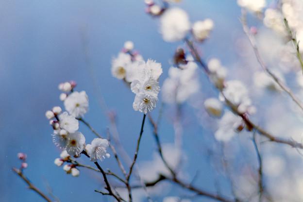 府中市郷土の森博物館【梅:八重野梅】3銀塩