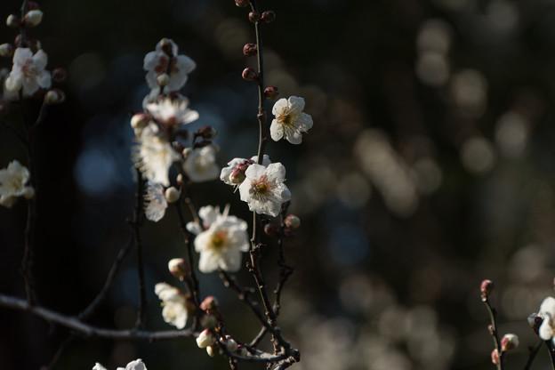 皇居東御苑【梅林坂:新冬至】2